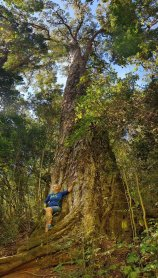 1000 year old Outeniqua Yellowwod